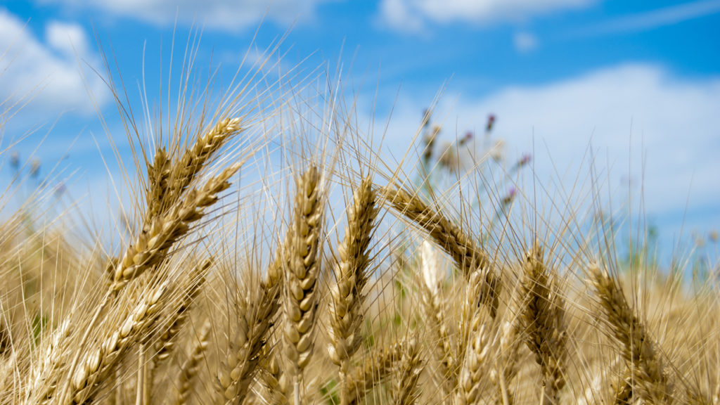 "Photograph ""Wheat"" by Sleepy Clause, CC-BY-NC-ND. An image of wheat under a blue sky."